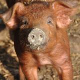 Fiebre aftosa: nueva técnica evalúa la eficacia de la vacuna en cerdos